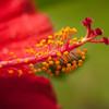 Flower macro red