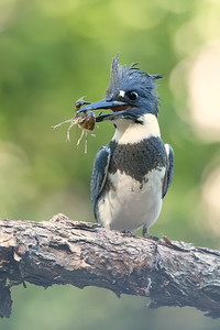 #1071 Belted Kingfisher