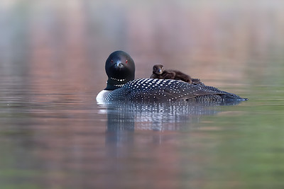 #1281 Common Loon and Chick