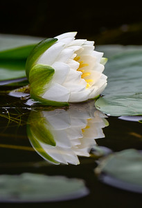 #1292 Water Lily