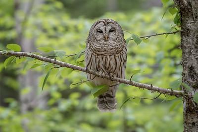 #724 Barred Owl