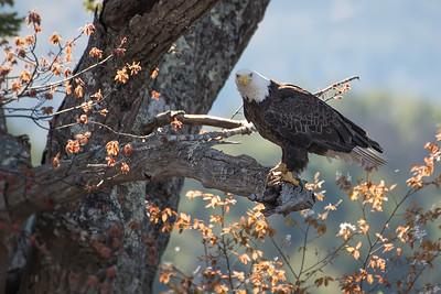 #970 Bald Eagle