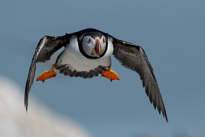 #740 Atlantic Puffin