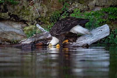 #1231 Bald Eagle