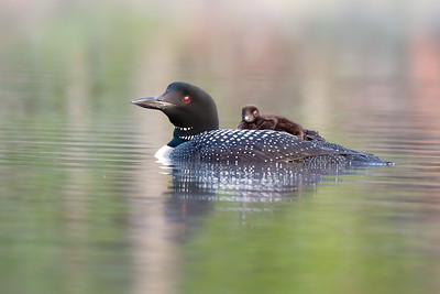 #1279 Common Loon and Chick