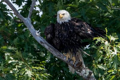 #627 Bald Eagle