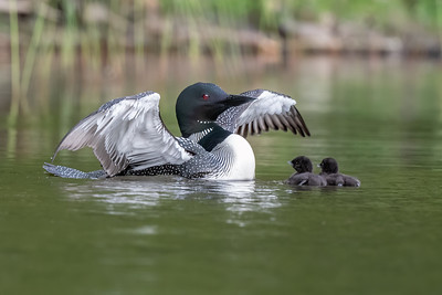 #1457 Common  Loon and Chicks