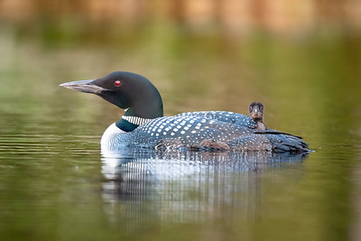 #1668 Common Loon and Chick
