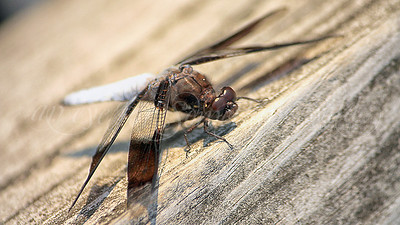 Common Whitetail Skimmer (Dragonfly)