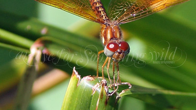 Eastern Amberwing (Dragonfly)