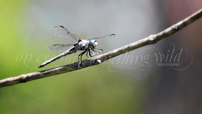 Great Blue Skimmer (Dragonfly)
