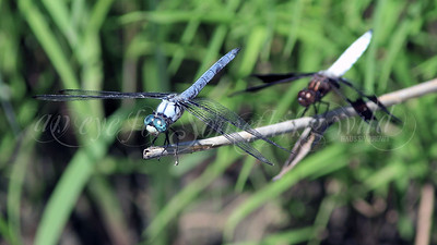 Great Blue Skimmer (Dragonfly) and Common Whitetail Skimmer (Dragonfly)