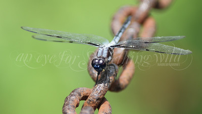 Black-headed Skimmer (Dragonfly)