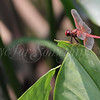 Scarlet Percher (Dragonfly)