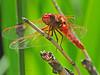 Cardinal Meadowhawk, <em>Sympetrum illotum</em> Garden, Alameda, Alameda Co., CA