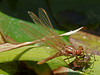 Cardinal Meadowhawk, <em>Sympetrum illotum</em> Garden, Alameda, Alameda Co., CA When the new cuticle has sufficient strength, it moves from a hanging to an upright position.
