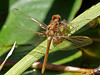 Cardinal Meadowhawk, <em>Sympetrum illotum</em> Garden, Alameda, Alameda Co., CA The wings then pop out to the sides and within minutes, a short maiden flight takes it to a safer perch to wait out the completion of the exoskeleon hardening.