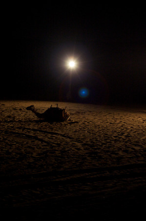 Camel and desert lights