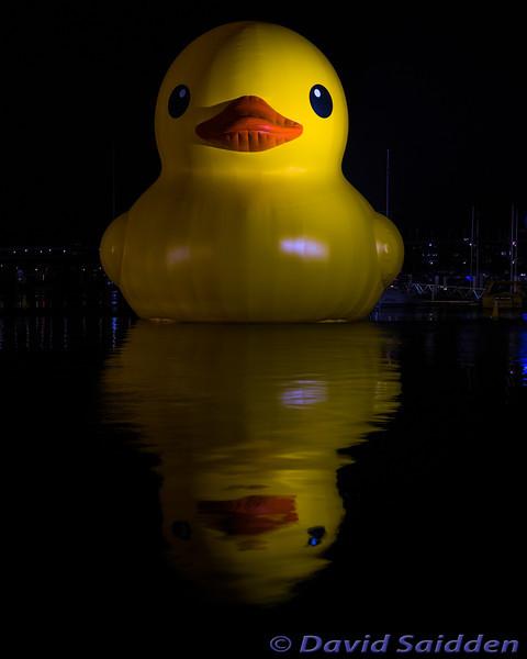 Ducky in Darling Harbour - Saidden