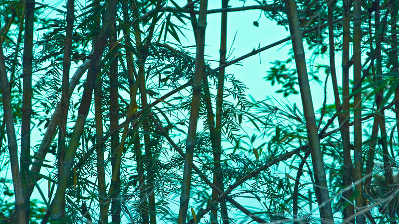 Bamboo Forest in the Andes Mountains on the Argentina , Chile border in Patagonia