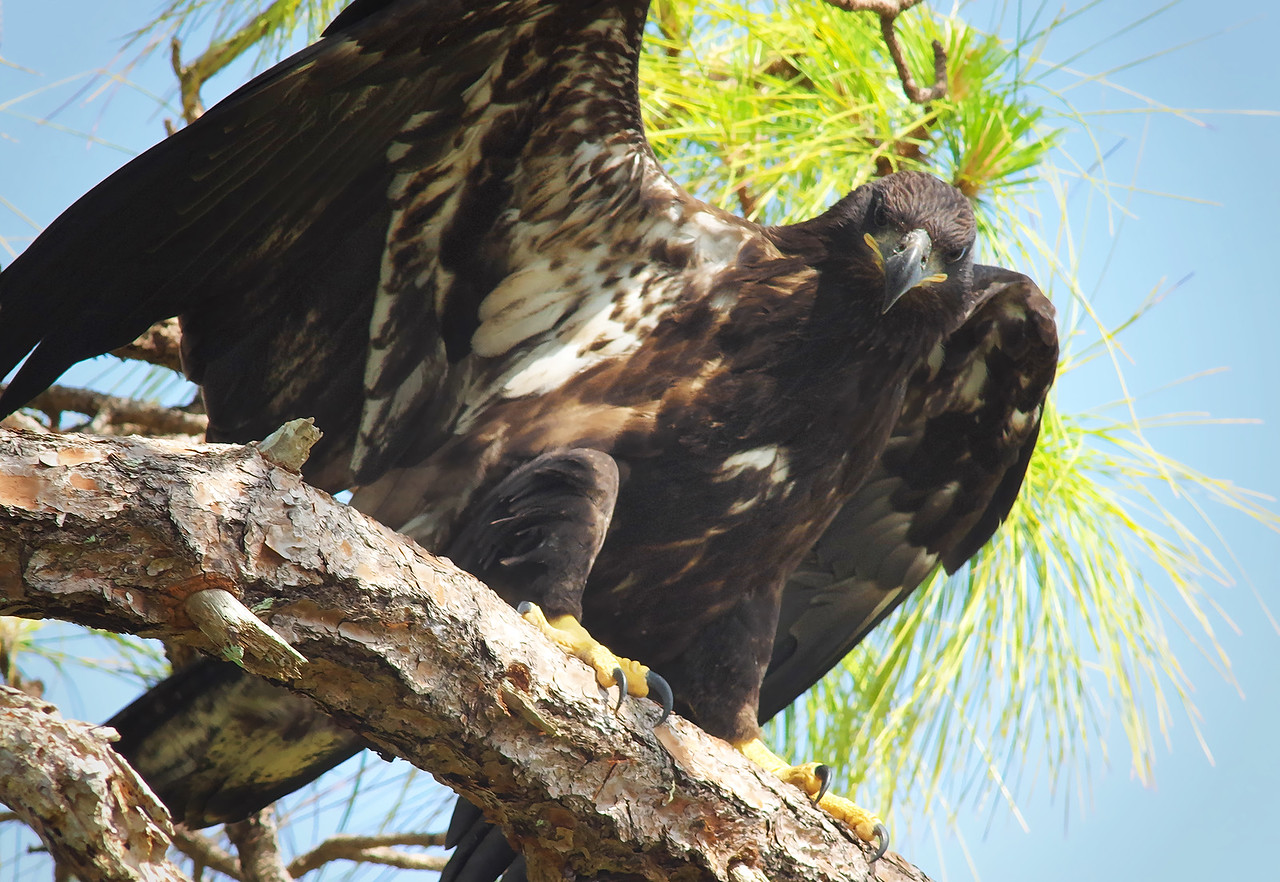 the stare- juvenile bald eagle - 2015 Cape Coral, FL