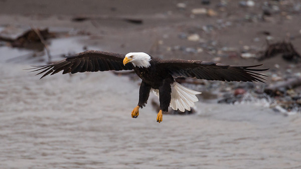 Carrier Bald Eagle