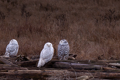 Snowy Owls Hanging Out Boundary Bay Regional Park, Delta, B.C.