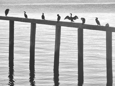 Cormorant Meetup Bainbridge Island, Washington