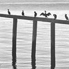 Cormorant Meetup<br /> Bainbridge Island, Washington