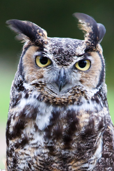 Great Horned Owl Staredown<br /> Woodland Park Zoo, Seattle, Washington