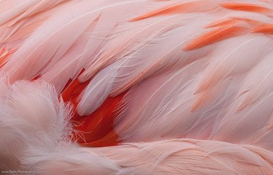 Flamingo Feathers Woodland Park Zoo, Seattle, Washington