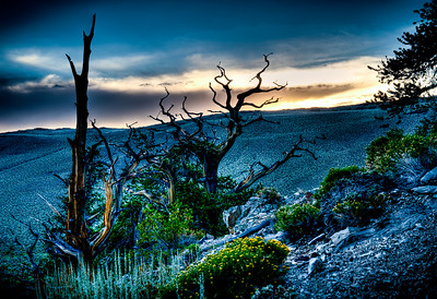 BRISTLECONE PINE AT DUSK IN HDR