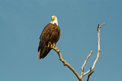Eagle. I like this shot.