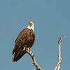 Agitated eagle.