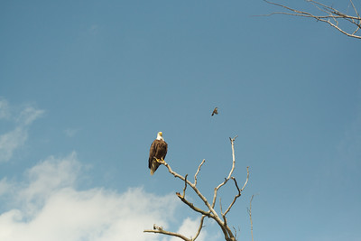 Bald Eagle and Eastern Kingbird. I'm glad that I had a telephoto-zoom lens with me.
