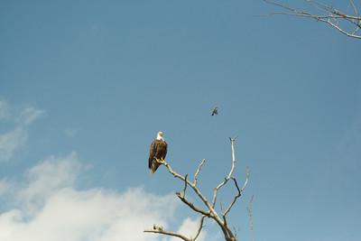 Bald Eagle and Eastern Kingbird. I'm glad that I had a telephoto-zoom lens with me.