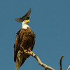 An Eastern Kingbird attempting to scare a Bald Eagle away from its territory. It sure was persistent.