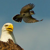 The Eastern Kingbird makes another pass at the Bald Eagle (Detail).