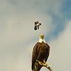 The kingbird attacks!