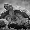 Tortoise, B&W