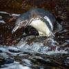 Penguin Diver