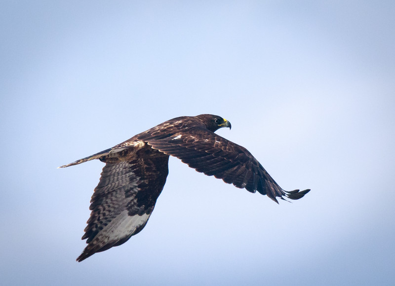 Galapagos Hawk in flight