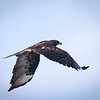 Galapagos Hawk in flight