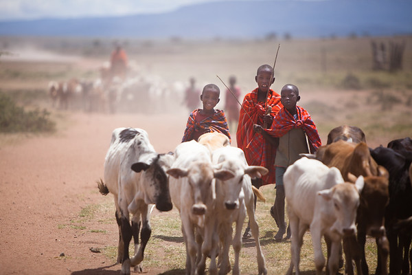Herding cows job. Maasai, Mara, Kenya, 2011