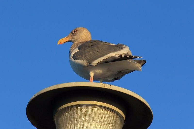 um, seagull