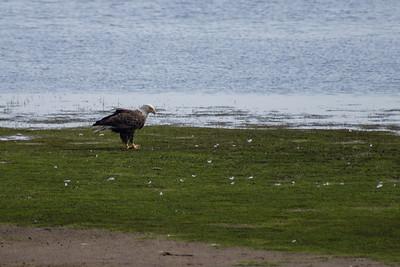 Bald Eagle Eating a Fish