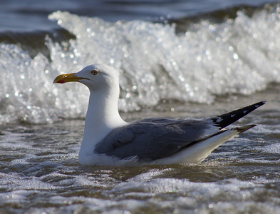 Herring Gull in the Surf