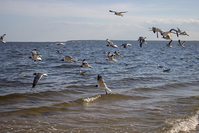 Laughing Gulls on the Great Bay