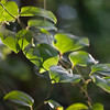 Ivy Leaf Vine Backlit