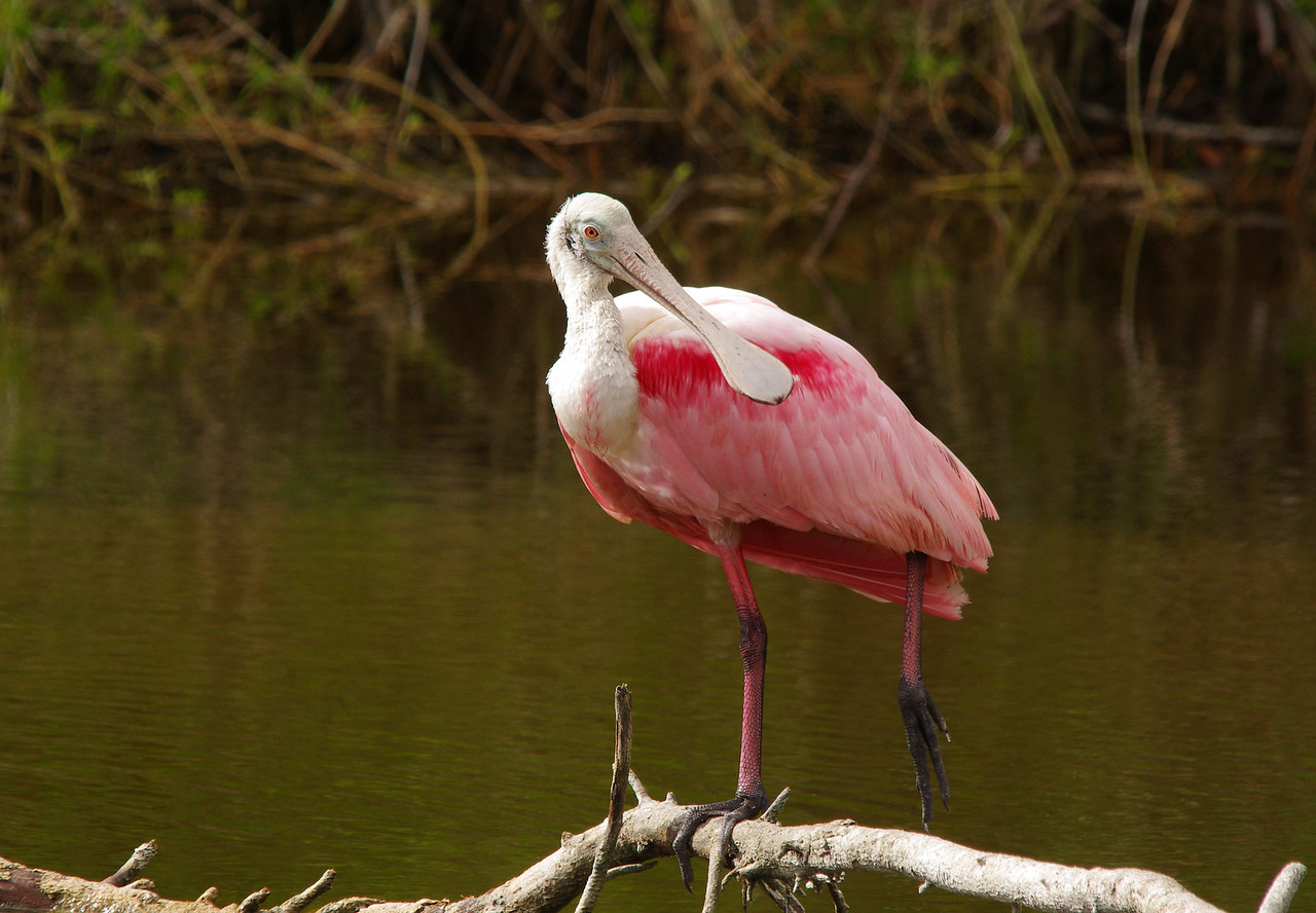 Roseatte Spoonbill Eco Pond, Everglades National Park